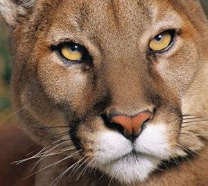020-cougar