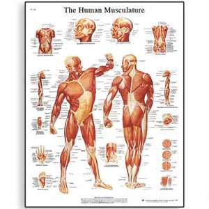 Asymmetric Musculature