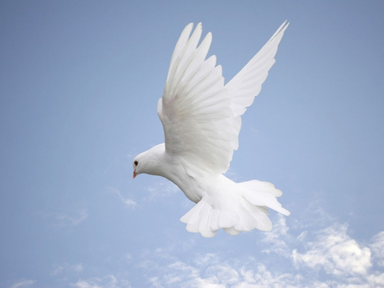 white-dove-wallpapers-3